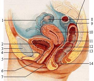Stebekite, kaip padidinti lyciu organa Padidinkite nario pratybu nuotrauka