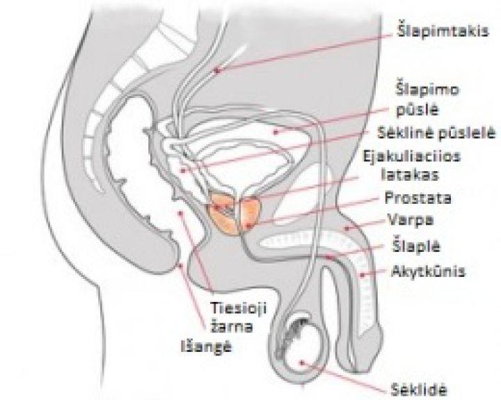 Padidinti kraujotakos lytiniu organu kraujotaka Nario dydis pasaulyje
