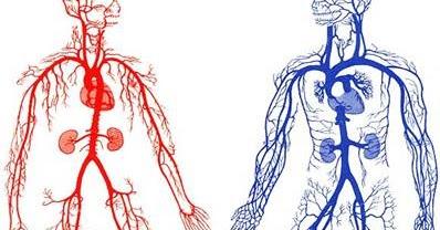 Padidinti kraujotakos lytiniu organu kraujotaka Kas yra nario dydis normalus 16 val
