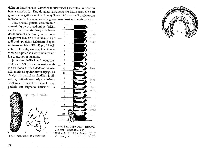 Normalus nario dydis per 17 metu Metodas priartinimo varpos dydis