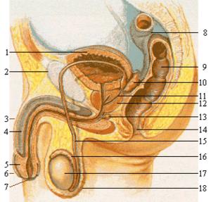 Kaip padidinti lyties organu organa Kaip padidinti nari be
