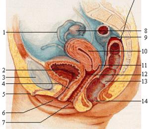 Lytiniu organu nariu dydis pasaulyje Padideje nariai storio