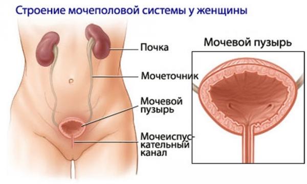 Optimali genitalijai Kas turi varpos dydzio apklausa
